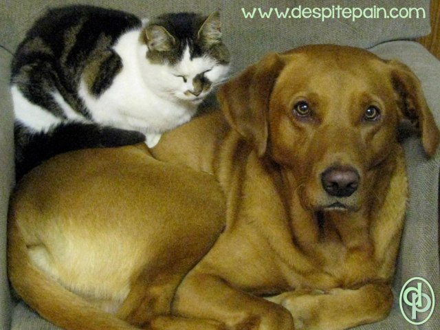 Pets can be a great comfort. My dog and cat. Fox red labrador with cat on his back.